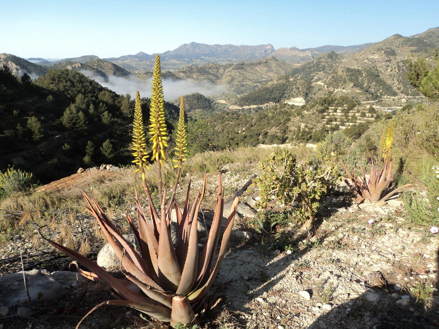 flowering-Aloe-Vera-11